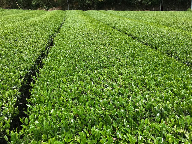 ■静岡市の茶畑。キラキラと美しい旬の緑です。