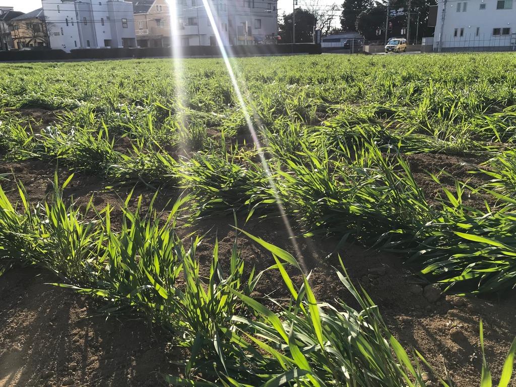 東京都三鷹市の麦畑。都市の中で昔からの麦文化が伝承されています。子どもたちが麦踏みを体験した畑で、麦は再び立ち上がっていました。