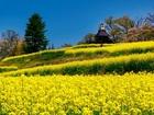 長野県飯山市の菜の花畑。5月上旬が満開。名産野沢菜の菜の花です。