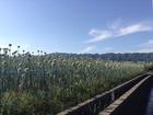 ■和歌山県紀の川市玉ねぎ畑。