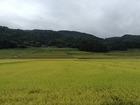 ■長野県飯山市はそろそろ実りの季節です。