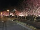 静岡県掛川市の掛川桜が満開です。2002年一番最初に「スローライフ月間」を開催したまちです。