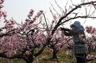 和歌山県紀の川市桃山町では、いま桃の花が満開です。でも立派な特産の実を育てるためには摘花が必要、農家は大忙しです。