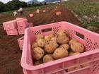 長崎県雲仙市はジャガイモの収穫まっさかり。様々な種類が出荷されています。