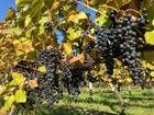 ■北海道池田町のワイン用のブドウ畑、いままさに実っています。