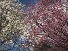 ■今年は静かな花見になりそうです。新宿御苑で。