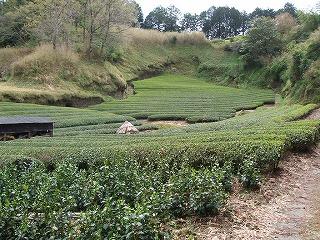掛川市「茶草場農法」